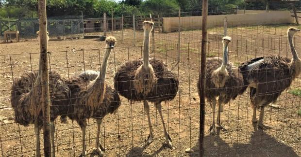Struisvogelboerderij